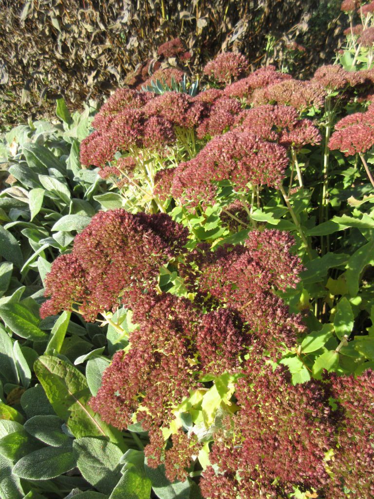 perennial plants in norway