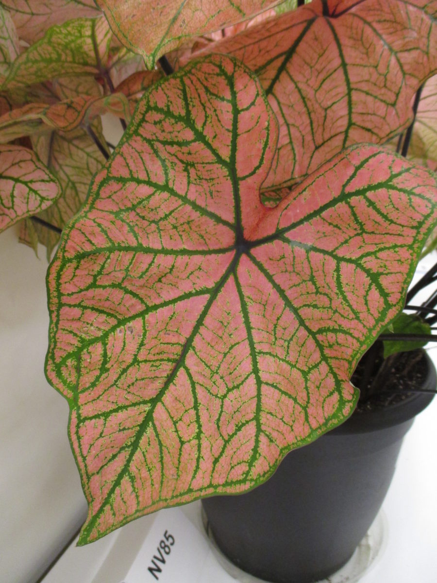 Caladium Collection - Rotary Botanical Gardens