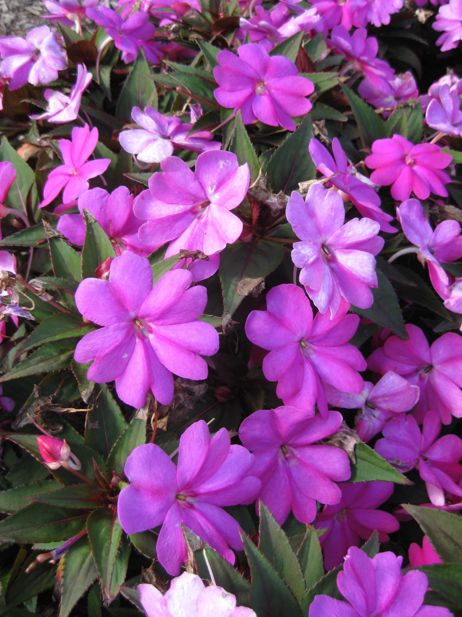 Impatiens 'SunPatiens Compact Lilac' (2013) - Rotary