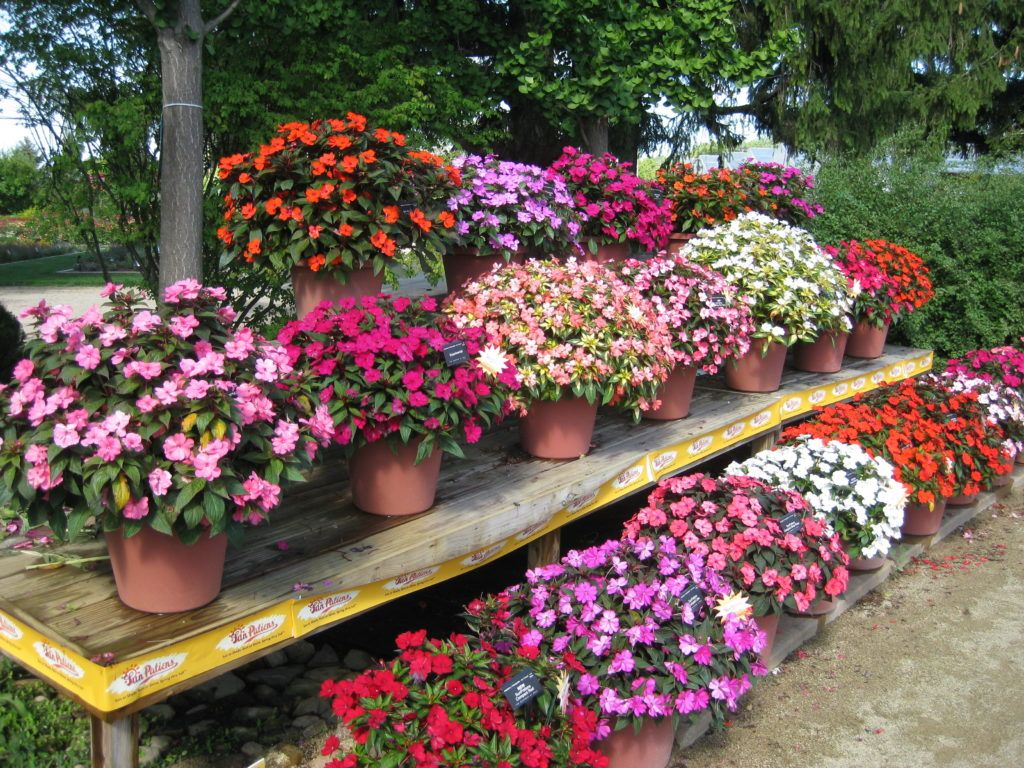 New Guinea Impatiens Rock Rotary Botanical Gardens