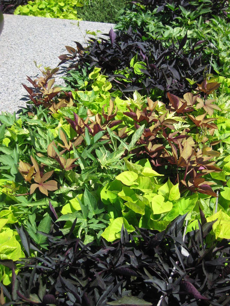 Colorful Sweet Potato Vine Rotary Botanical Gardens
