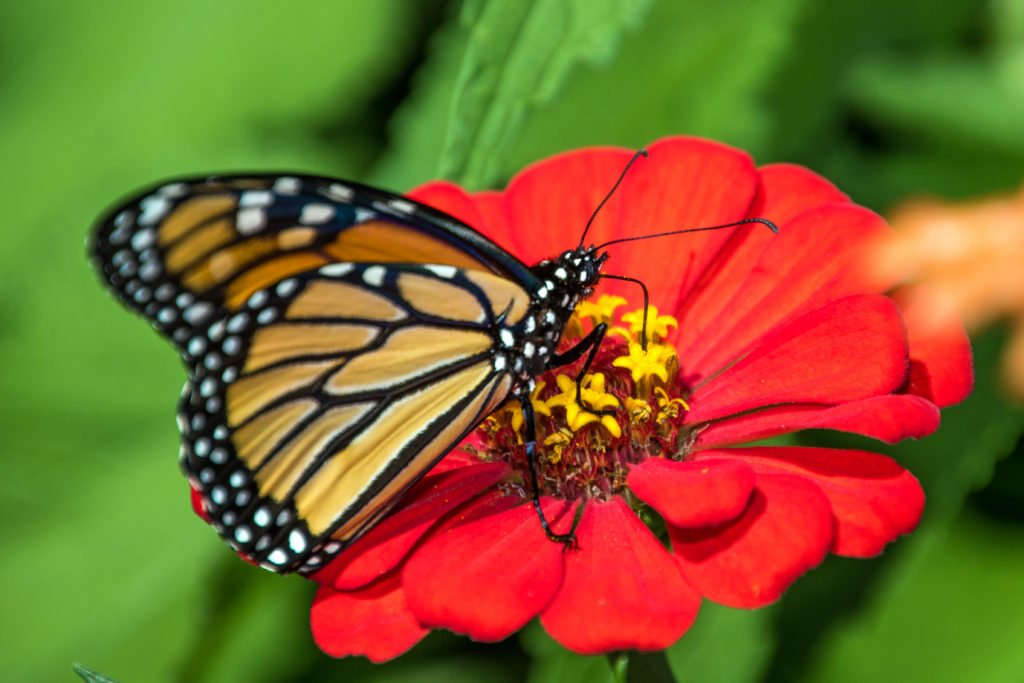 monarch-sipping-nectar-from-red-flower-2327