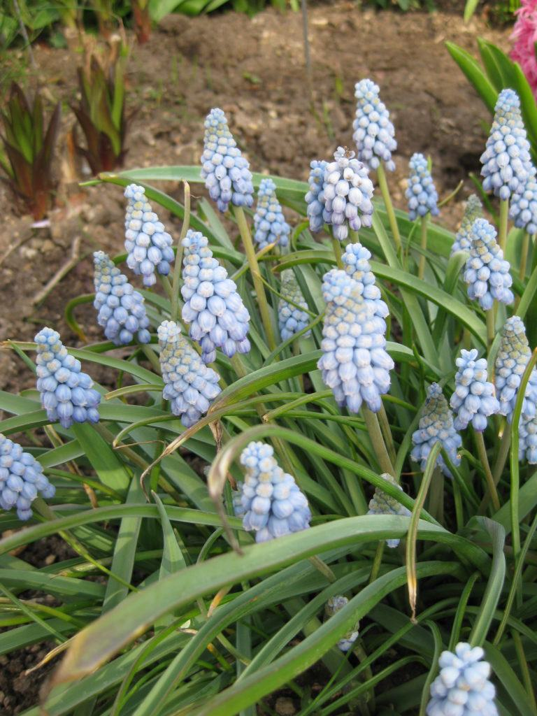 muscari armeniacum fantasy creation