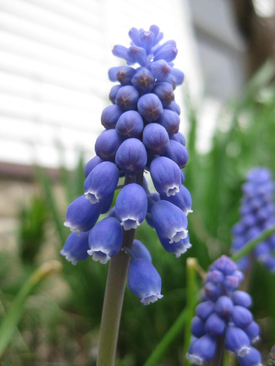 ffb54657f The grape hyacinths (Muscari sp.) pictured throughout this blog are still  2-3 weeks away from blooming but are one of my favorite bulbs (native ...