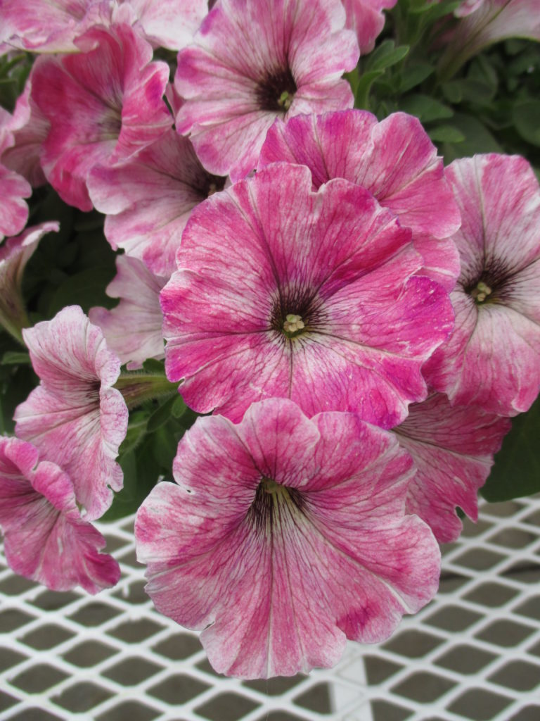 petunia-boom-little-antique-pink-2016-1