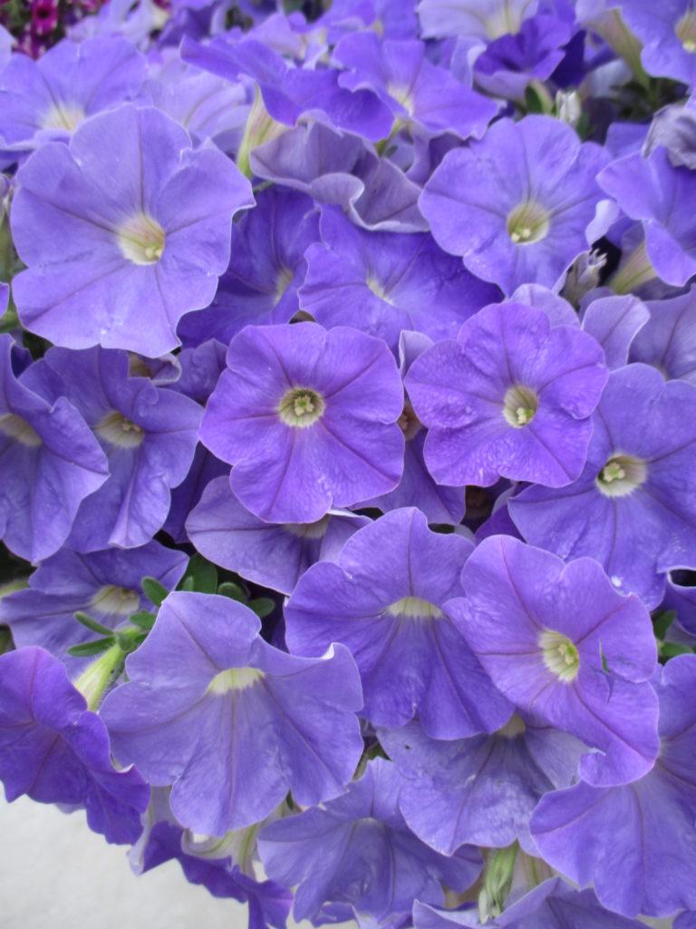 petunia-classic-blue-ray-2016-jpg