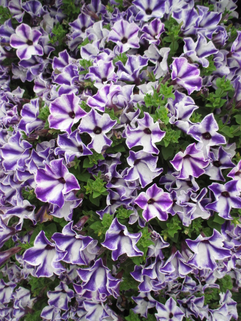 petunia-colorworks-blue-star-cast-2016-2