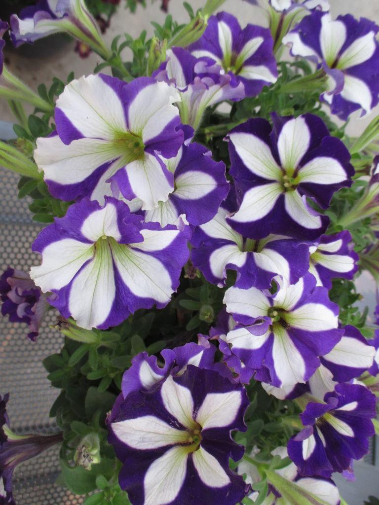 petunia-crazytunia-lucky-lilac-2016-jpg