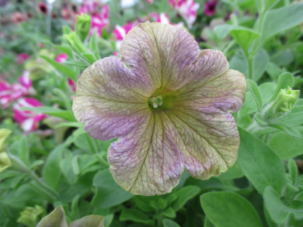 petunia-crazytunia-stonewashed-2016-3