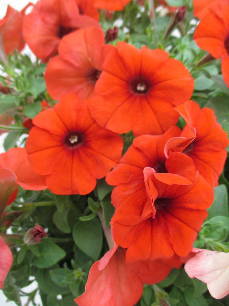 petunia-happy-fire-red-2016-jpg