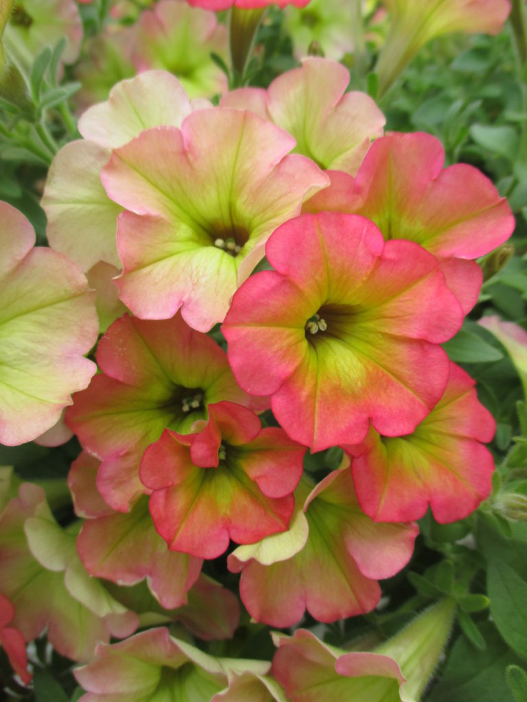 petunia-happy-magic-cremissimo-2016-2