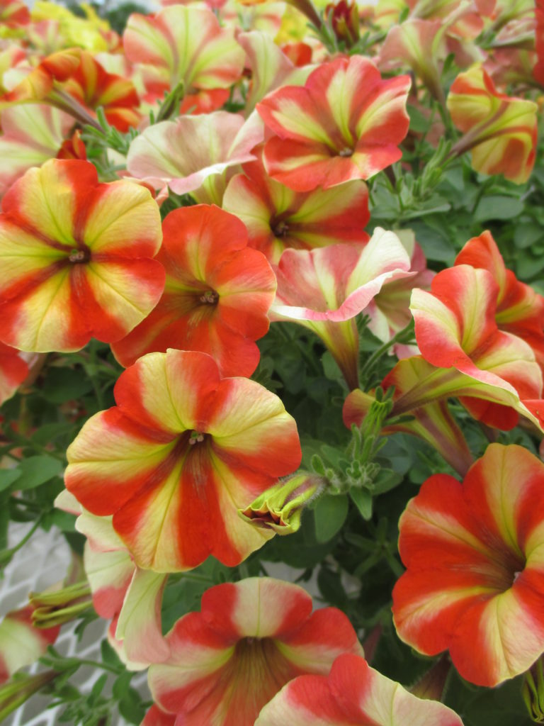 petunia-happy-yellow-orange-stripes-2016-jpg