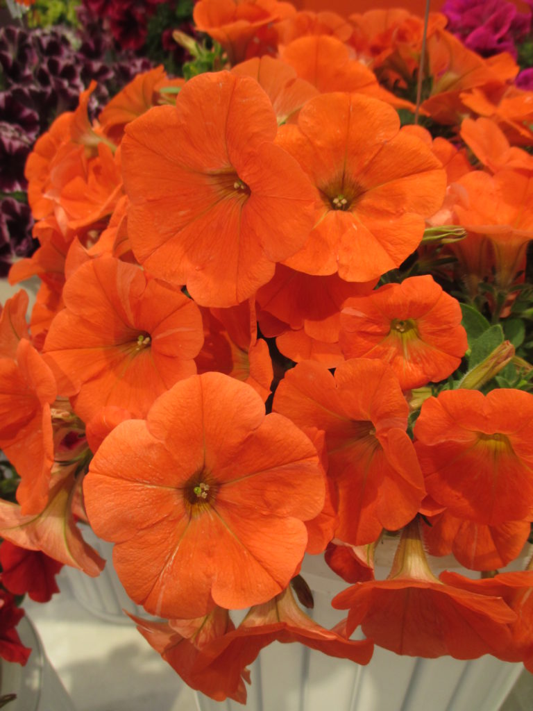 petunia-potunia-plus-papaya-2016-jpg