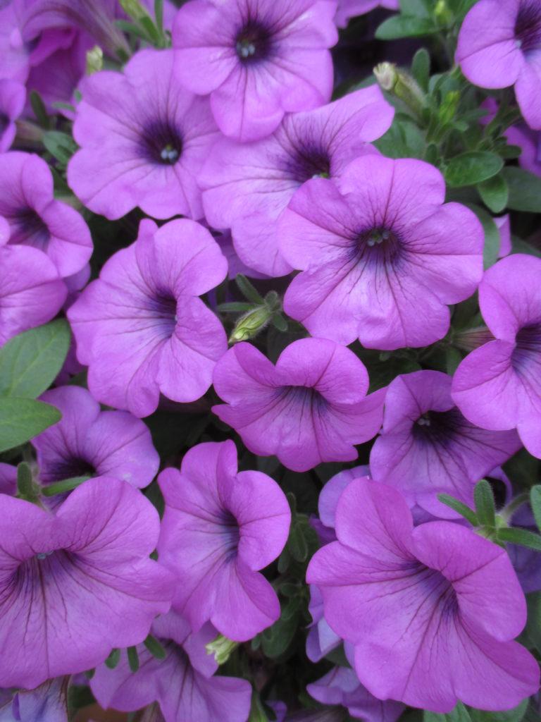 petunia-sanguna-lavender-vein-b-2016-jpg-2