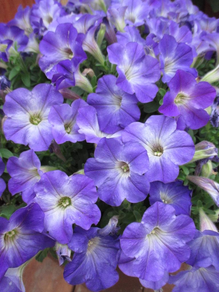 petunia-sanguna-patio-blue-morn-2016-jpg