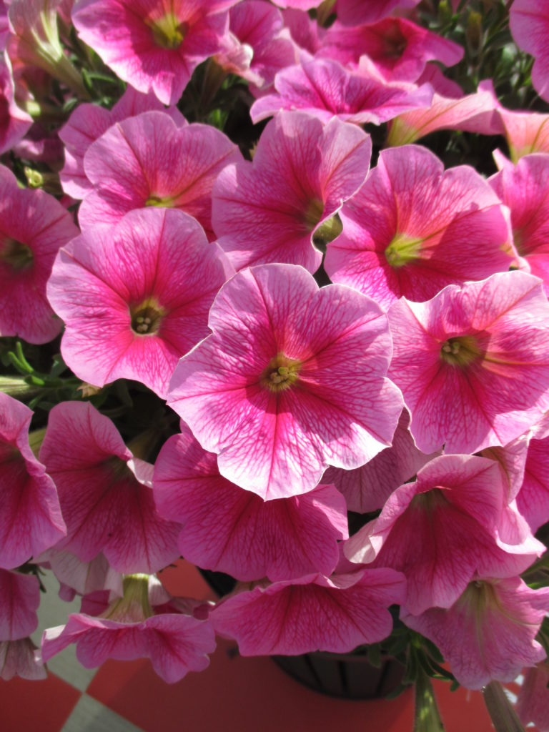 petunia-success-pink-vein-2016-jpg