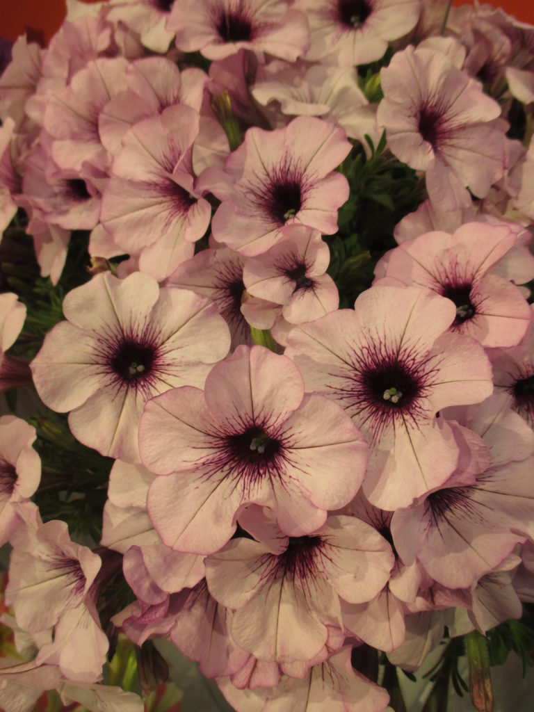 petunia-surprise-purple-ice-2016-jpg