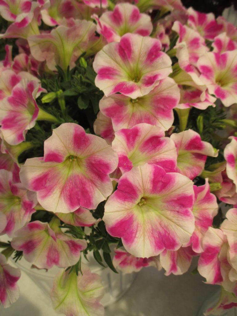 petunia-sweetunia-pink-touch-2016-jpg