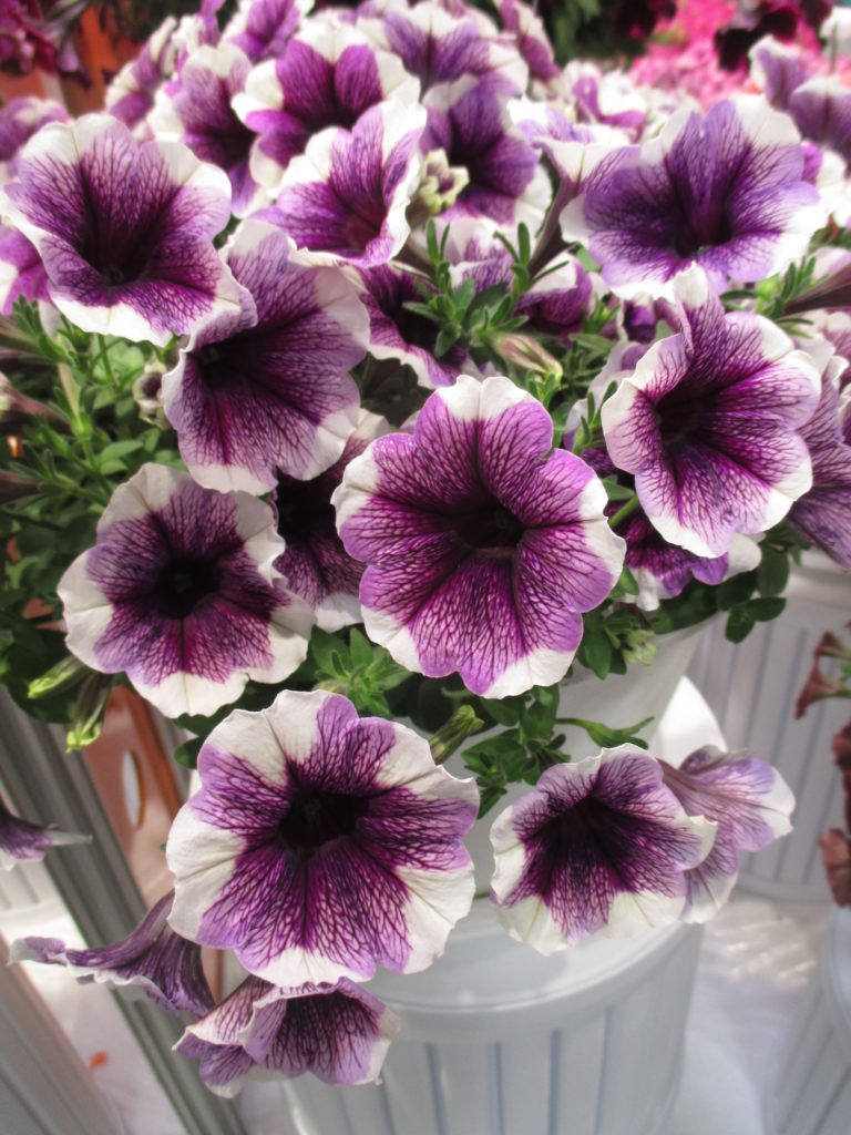 petunia-sweetunia-purple-touch-2016-jpg