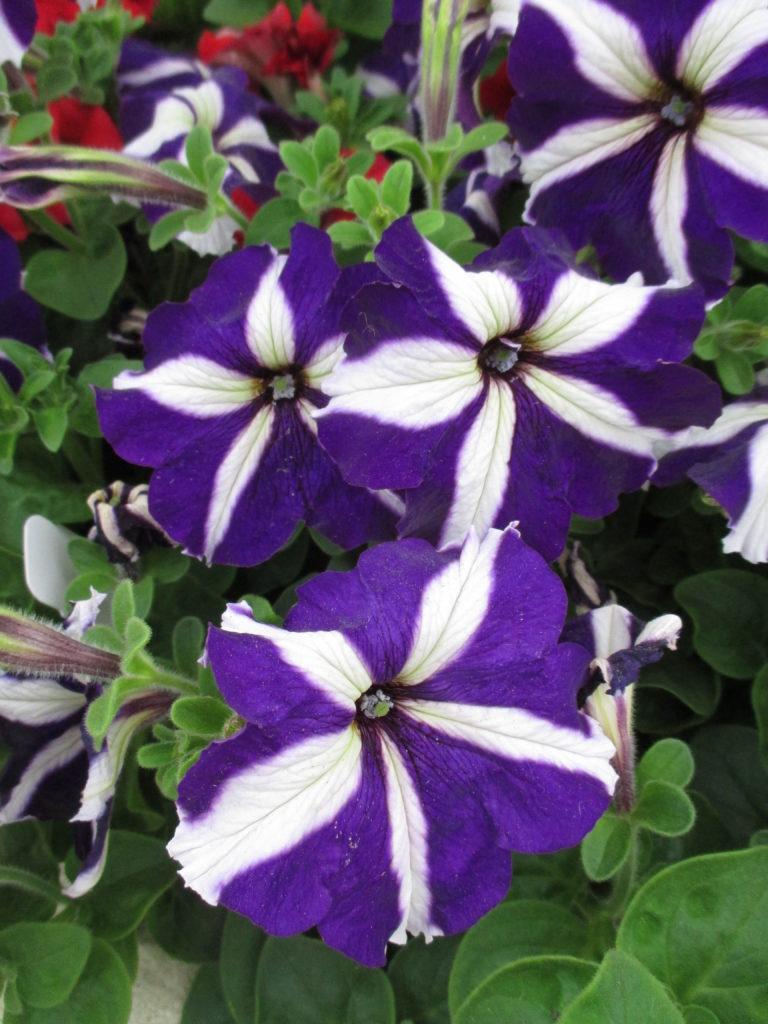petunia-tritunia-blue-star-2016-jpg