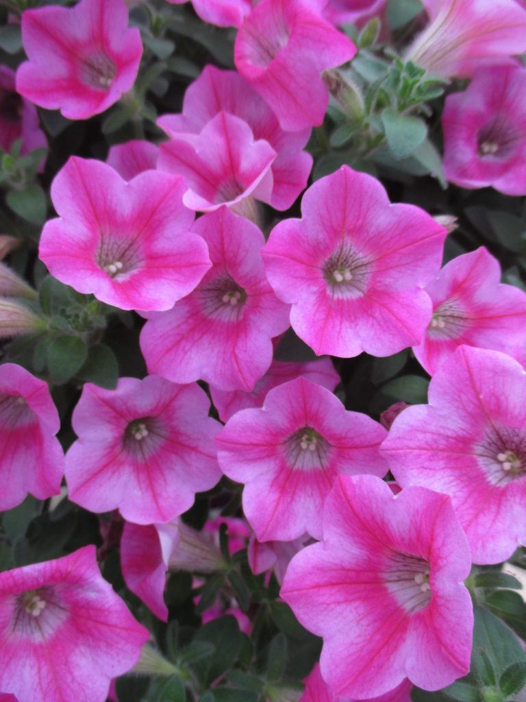 petunia-whispers-star-rose-2016-jpg-2