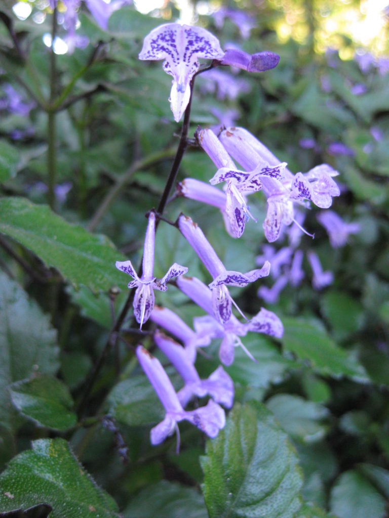 plectranthus-mona-lavender-bloom-shot-2013-2