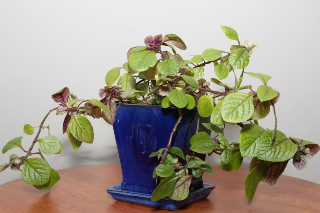 solid-plectranthus