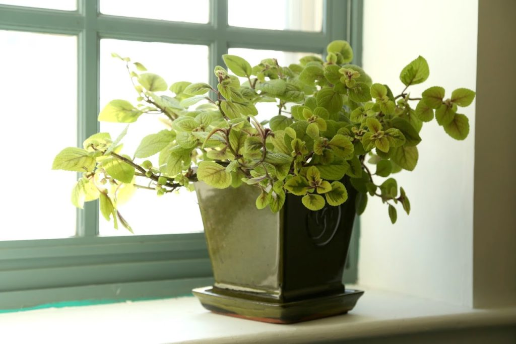 variegated-plectranthus