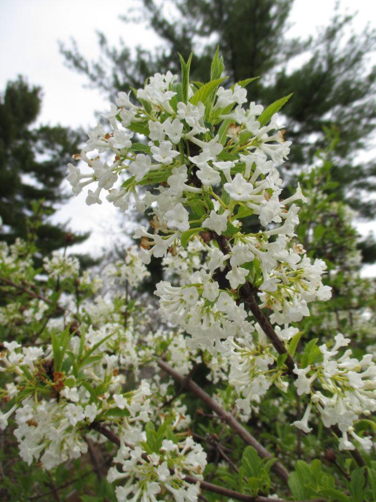 Fragrant White Viburnum Rotary Botanical Gardens