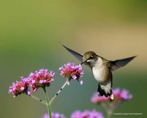 rgb-gardens-specialty-hummingbird-credit-marsha-mood